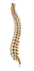 cervical-vertebrae-spine